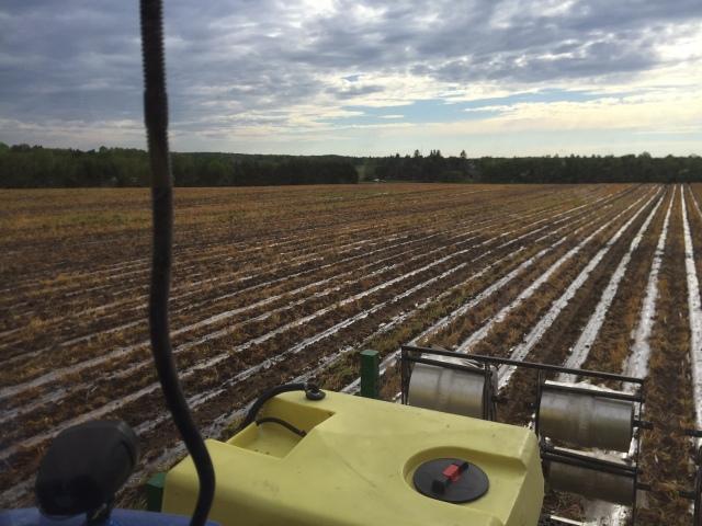 30 Inch Corn in Wheat Cover