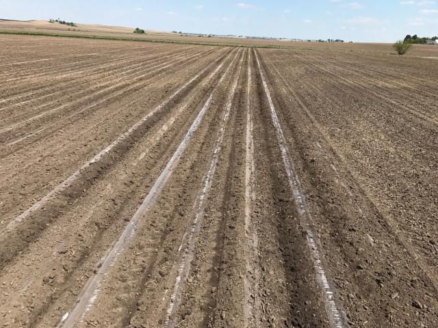 30 inch Corn in full Cultivation