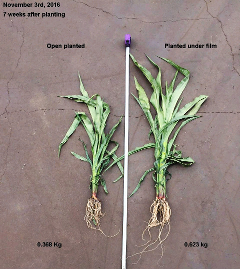 1m spacing Corn emerging through film