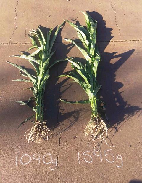 Corn at 9 weeks