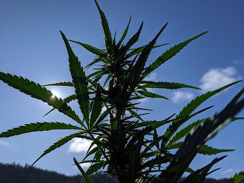 Plant | Hemp Harvest Works | Flower | Leaf | Hemp Family | Sky | Terrestrial Plant | Hemp | Flowering Plant