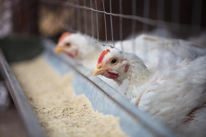Poultry Hemp Feed | Healthier Chicken Feed | Hemp Chicken